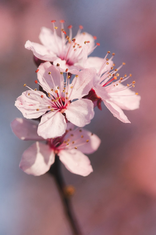 Darker pink-lilac shades introduced by the bokeh