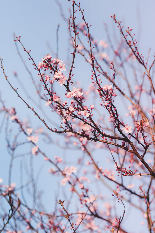Tree branches covered with spring blossoms