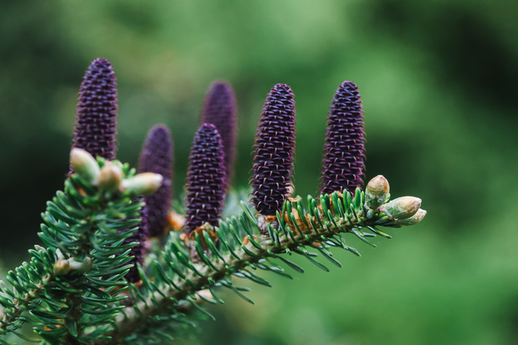 A conifer branch with spring cones