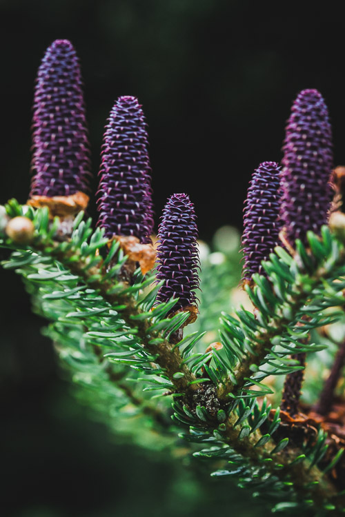 Purple conifer cones