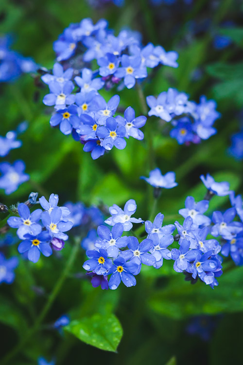 Water forget-me-nots (Myosotis Palustris)