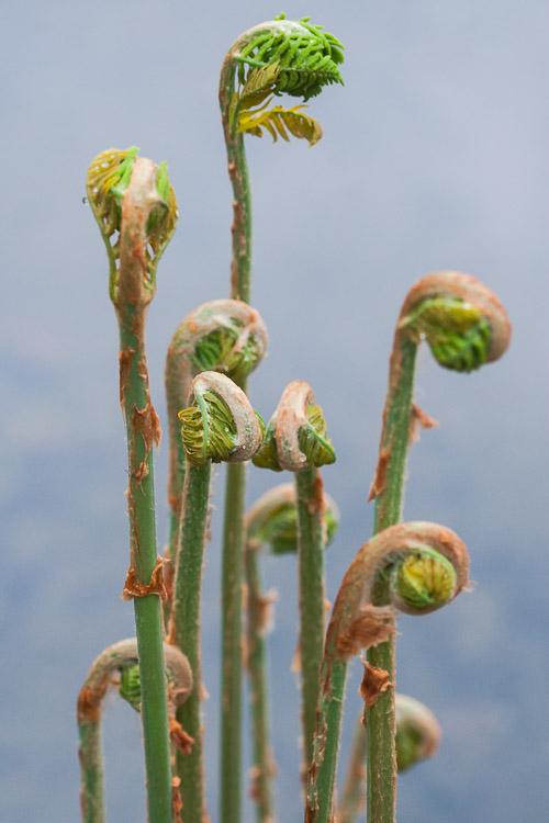 Unfolding royal fern (Osmunda Regalis)