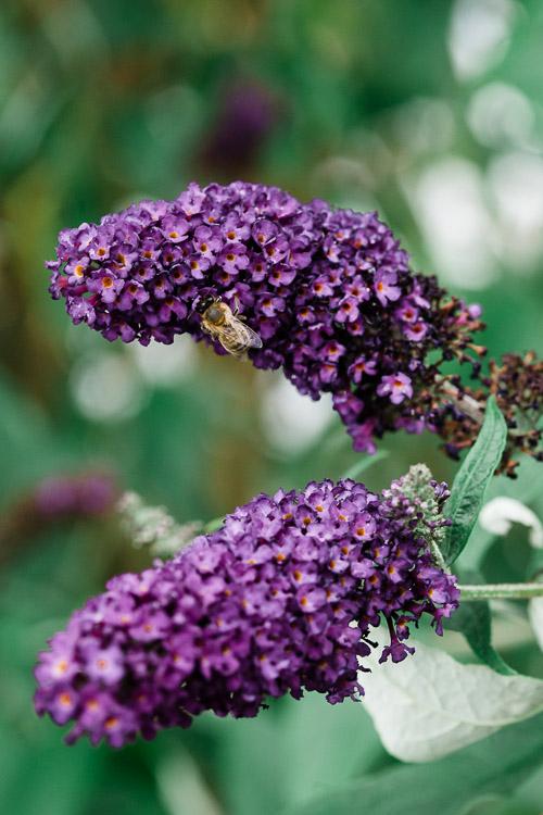Purple Buddleia