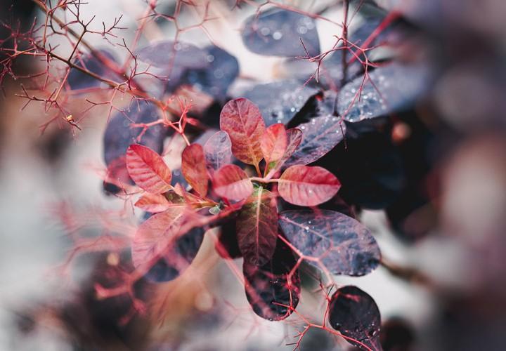 Purple shrubs of Kingholm Loaning
