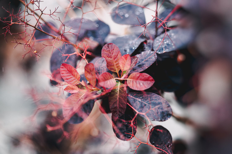 Purple, red and plum foliage hues