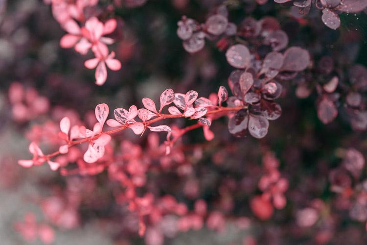 Berberis - pretty pink shoots against the older purple foliage