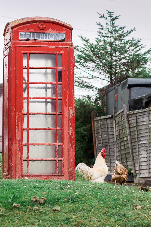 Chickens under a red telephone box