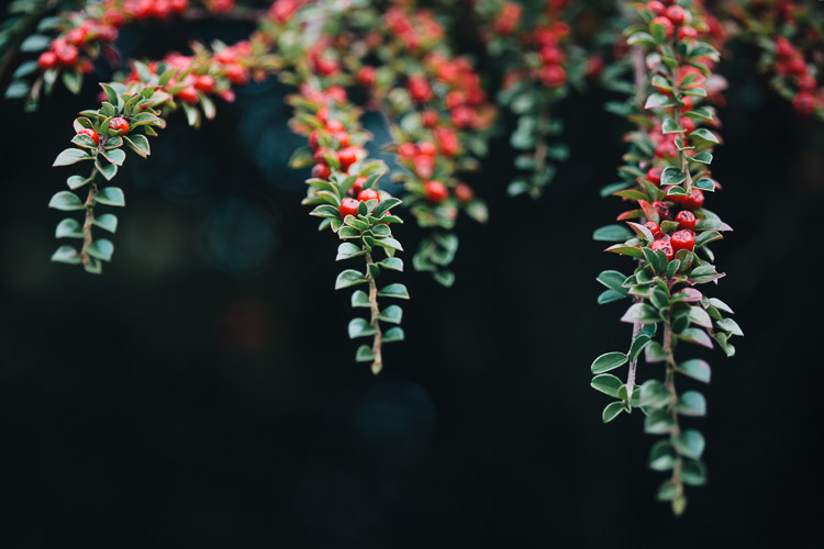 Berry-laden branches of berberis