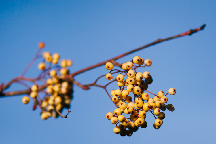 A bunch of mustard yellow rowan berries against the blue sky