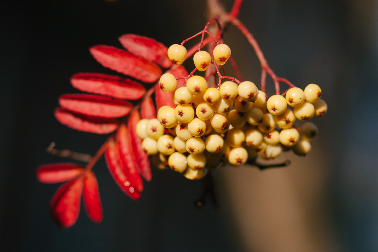 Autumn Spire rowan tree berries