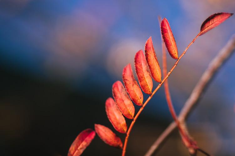 A row of bright auburn autumn leaves