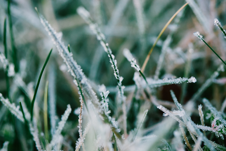 Frosted blades of grass macro