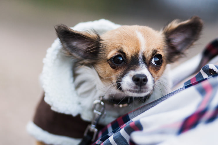 Little dog in a coat shivering