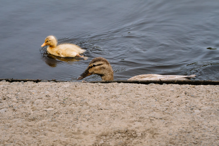 As always, no duck was harmed - this duck family swims along not minding the regatta
