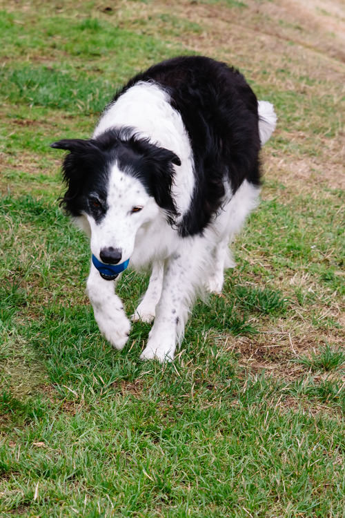 Collie carrying a blue ball