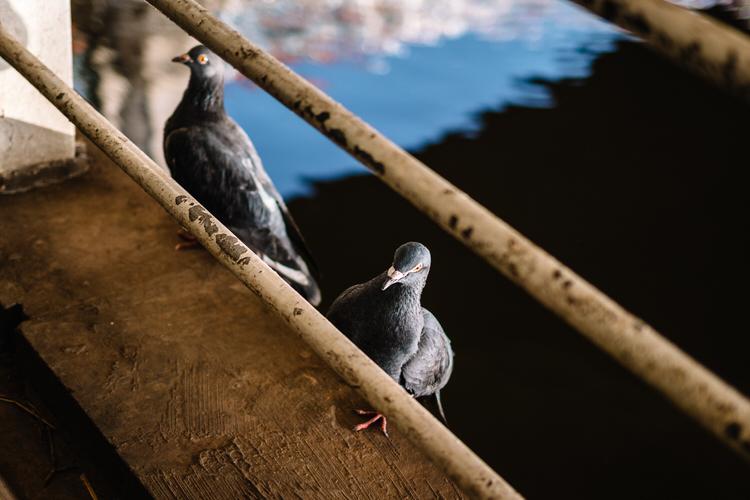 Pigeons under the railway bridge on Clyde Walk expecting treats